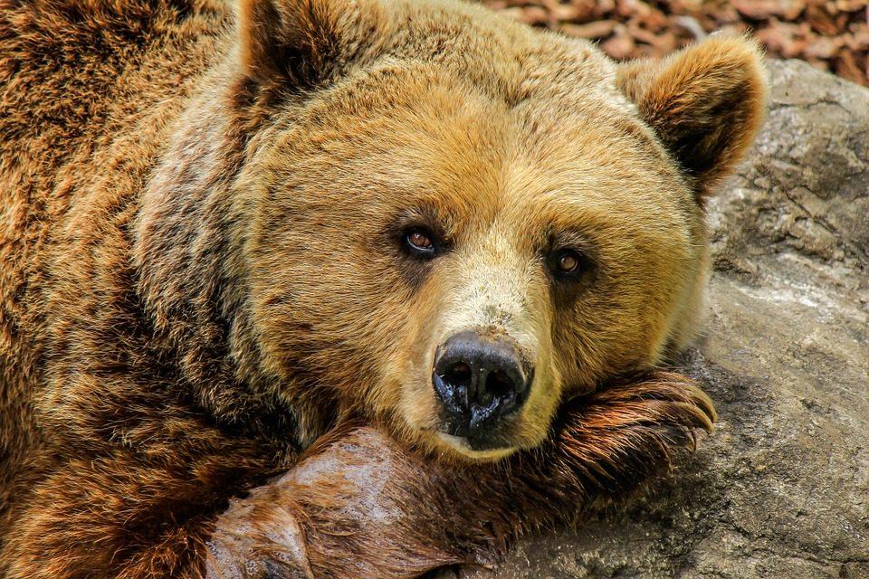 bear 838688 960 720