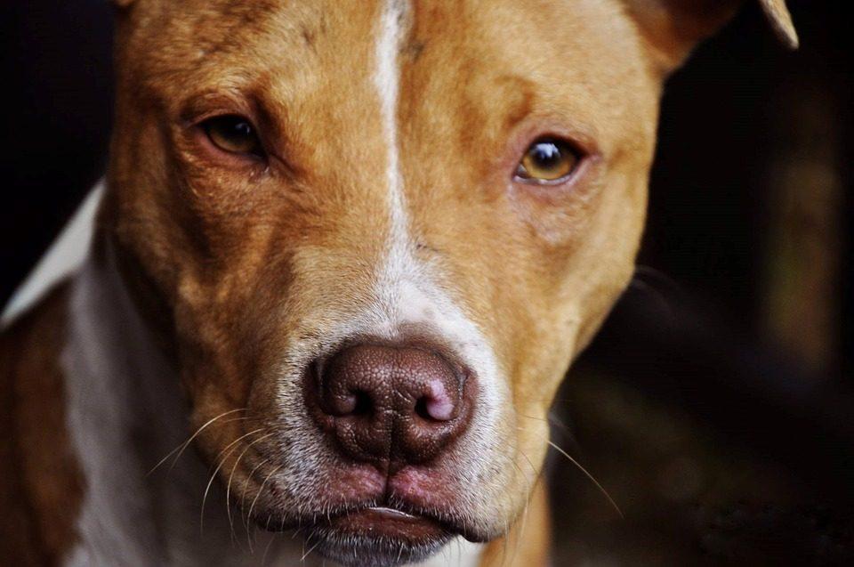pit bull dog bite dog attack